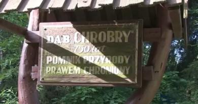 Dąb CHROBRY w Piotrowicach.